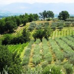 Olive Groves and Vineyards